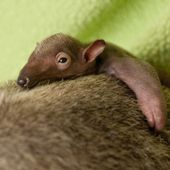 Baby Anteater!