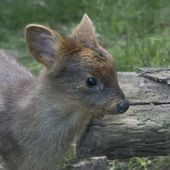 'world's smallest deer' baby