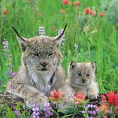 Canada Lynx and baby