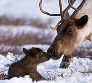 Baby Reindeer and Mom