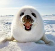 A ball of fur. Baby seal.