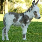 miniature donkey, so cute :)