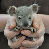 Baby koala! It's so adorable!