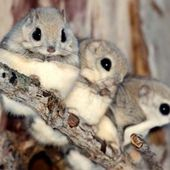 dwarf Japanese flying squirrels
