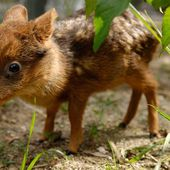 A one-month-old baby Pudu deer