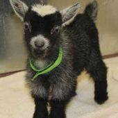 Pygmy Goats are soo cute.