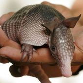 teeny tiny baby armadillo!