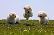 white puppies!