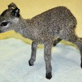 this adorable little guy is a baby klipspringer.