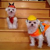 Maltese puppies dressed up for Halloween! So cute!