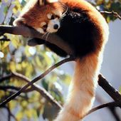I love red pandas! And you?