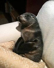 Baby Seal Enters House and Naps on Couch