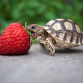 baby turtle eating strawberry