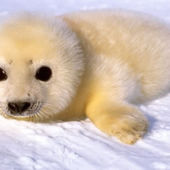 if only I could have a pet baby seal