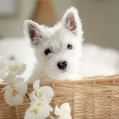 Puppy in the basket