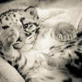 Clouded Leopard Cubs at One Month