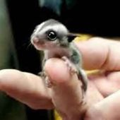 baby sugar glider!!! CUTEST THING EVER!!!!
