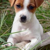 Jack Russell pup...