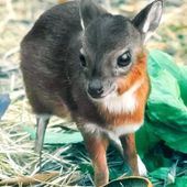 The Royal Antelope is the world's smallest species of antelope