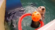 slam dunking sea otter