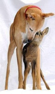 Jasmine the Greyhound fostering a baby doe. The 'deer' dog.