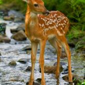 Spring Fawn. ❤