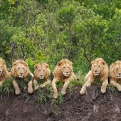 Lions... on the relaxation...