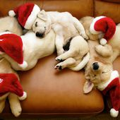 Adorable Christmas Puppies