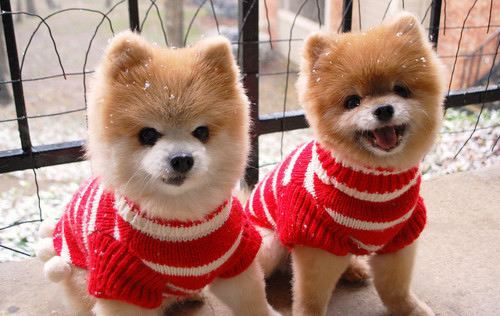 Cute Christmas Puppies.Super Cute Pomeranian Christmas Puppies