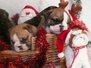 Sweet Boxer Puppies