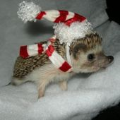 baby Christmas hedgehog