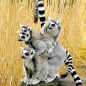 Ring Tailed Lemur Family Shot!