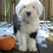 sheepdog puppy