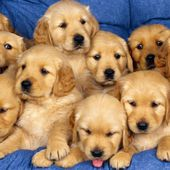 A lot of puppies