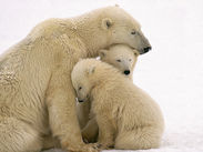 Polar bear's family