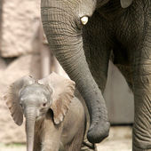 Little baby elephant and mom