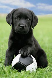 black lab and the ball