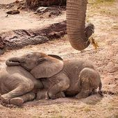 sleepy baby elephants