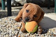 Puppy and the ball