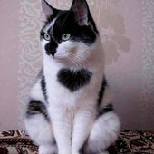 Heart on the cat