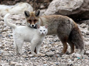 A wild cat and a fox are best friends