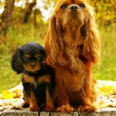 Adorable cute cavalier king charles spaniel