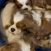 Cavalier king charles spaniel puppies sleeping together