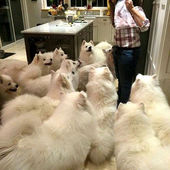 A pack of samoyeds what...