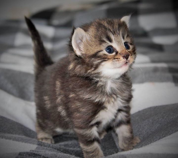 3 weeks old Norwegian Forest kitten