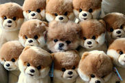 Boo the pomeranian hides inside a pile of Boos