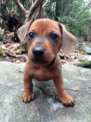Meet Rusty, the Dachshund
