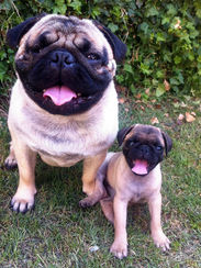 Pug and Pug Light