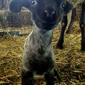 I wish I had a little lamb...