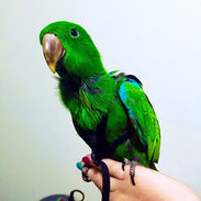 Baby Parrot